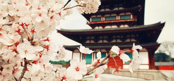 日本樱花赏